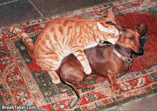http://gremlindog.com/wordpress/wp-content/uploads/2008/12/cat-hump.jpg